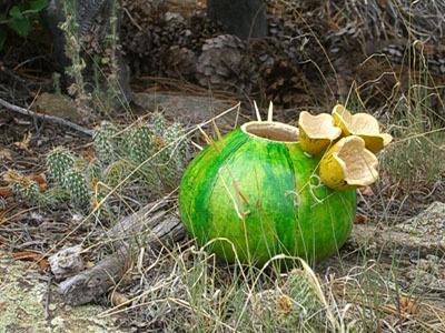 Cactusgourd